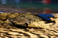 Leatherback Sea Turtle Nesting